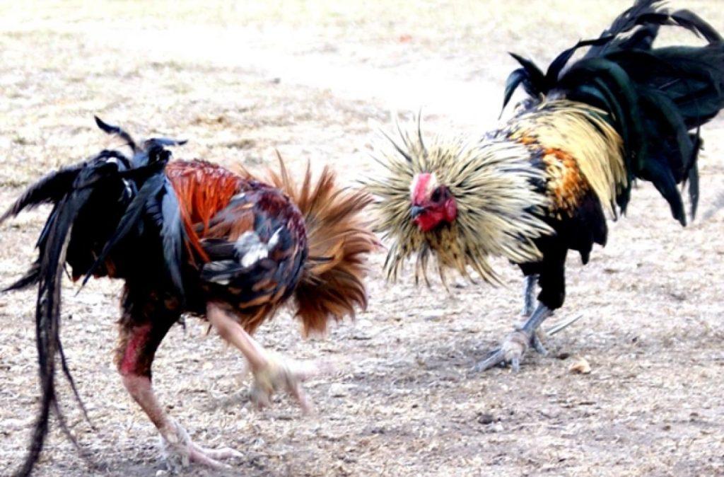 Alasan Bermain Dengan Agen Sabung Ayam s128